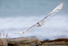 The snowy owl of the New Hampshire seacoast courtesy Massapoag Pond Photography. #nh #nhsnowday #visitnh #snowyowl