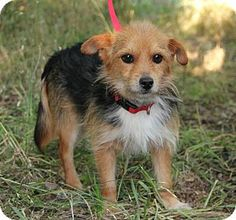 Missouri City, TX - Dachshund/Jack Russell Terrier Mix. Meet Jetson a Dog for Adoption.