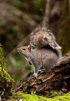 faerieforests:  Forest Squirrel byTerry & Julie
