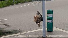 Cabeza de un lobo colgada de una señal de tráfico en La Doriga (Asturias).