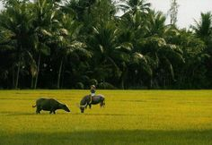 Vietnam Paddy Field  #Travel #VietNam #MekongDelta