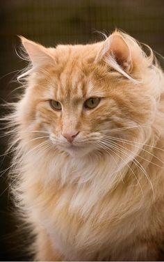 orange Norwegian forest cat