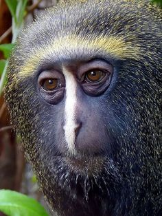 Owl-Faced Monkey - Endangered Animal - Vulnerable