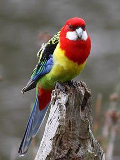 Parrots of New Zealand - Wikipedia, the free encyclopedia Pretty Birds, Beautiful Birds, Animals Beautiful, Exotic Birds, Colorful Birds, All Birds, Love Birds, Australian Animals, Tier Fotos