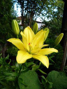 Tankar om och från min trädgård.: Liljor.