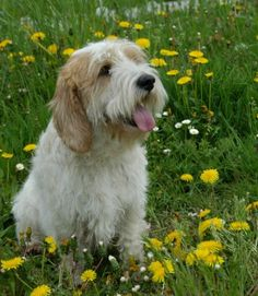 Petit Basset Griffon Vendeen -my gorgeous breed of dog, though monty is much scruffier