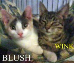 Blush and Wink: Dilute Calico, Cat; Palisades Park, NJ