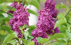 Want the most fragrant plant on earth in your garden? Learn about planting lilac bushes and how to grow them, including how to prune lilacs, and lilac care! Garden Seeds, Garden Plants, Garden Art, Wisteria How To Grow, Lilac Varieties, Propagate Succulents From Leaves, Lilac Plant, Organic Gardening Catalogue, English Garden Design