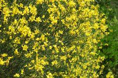 PLANTA TÓXICA Spartium junceum, giesta (Spanish broom TOXIC PLANT)