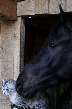 Aaahhhh.....friends forever - black horse and the kitty! #animals