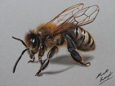 Bee DRAWING by Marcello Barenghi by marcellobarenghi (print image) 3d Drawings, Realistic Drawings, Animal Drawings, Pencil Drawings, Pencil Sketching, Honey Bee Drawing, Honey Bee Tattoo, Desenho Tattoo, Insect Art