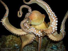 octopus | Fotos » Tiere » Octopus