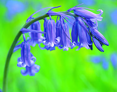 English bluebells The nodding flowers of these hardy, native bulbs attract insects to their delicately scented flowers. These vigorous beauties will multiply each year to form a dense carpet of spring colour. Spring Flowering Bulbs, Spring Plants, Woodland Flowers, Woodland Garden, Flowers Perennials, Planting Flowers, English Bluebells, Blue Plants, Shade Plants
