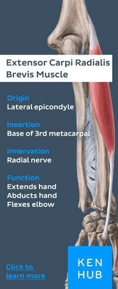 Just like it's big brother, the extensor carpi radialis brevis belongs to the radial forearm #muscles. Click to read more about this muscle group.