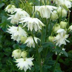 Pastellakleja Vetenskapligt namn: Aquilegia vulgaris 'White Barlow' Färg: vit Blomningstid: maj-juni Höjd: 80 cm Läge: sol-halvskugga