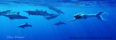The Spinner Dolphins of Hawaii