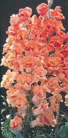 Antirrhinum (Snapdragaon) Antirrhinum 'Cinnamon Bronze'/'Double Azalea Apricot'