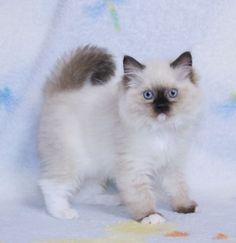 Ragdoll Kittens for Sale,   Catlana Ragdolls Ragdoll Kittens For Sale, Kitten For Sale, Ragdolls For Sale, Kittens Cutest, Cute Cats, Beautiful Kittens, Newborn Kittens, Kite, Creatures