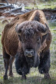 Icon - Photograph Wildlife Picture of - Yellowstone Icon Majestic Animals, Animals Beautiful, Wildlife Photography, Animal Photography, Photography Portraits, Canon Photography, Wildlife Fotografie, Buffalo Pictures, Bison Pictures