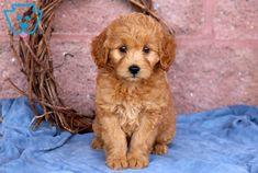 Indigo | Goldendoodle - Miniature Puppy For Sale | Keystone Puppies Goldendoodle Miniature, Miniature Puppies, Goldendoodle Puppy For Sale, Design Development, Puppies For Sale, Indigo, Miniatures, Pets, Animals