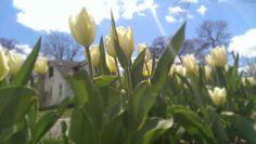 White Tulips in Spring Spring Bulbs, White Tulips, Garden, Plants, Garten, Lawn And Garden, Gardens, Plant, Gardening