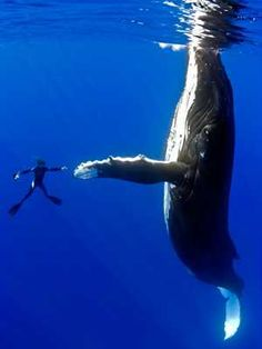In 2009, cameraman Marco Queral captured some incredible photographs while diving with a 50 ft (15.25 m) female humpback whale in the South Pacific (near Hawaii).