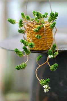 陳小雞DY采集到多肉植物 Growing Succulents, Succulents In Containers, Cacti And Succulents, Planting Succulents, Planting Flowers, Unusual Flowers, Hardy Plants, Blooming Plants, Cactus Y Suculentas