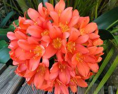 GardensOnline: Clivia miniata