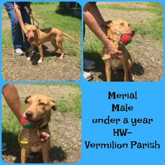 **BABY ALERT- ONLY 9 MOS. OLD!!! **MERIAL** TO BE KILLED 7/8/17    Merial is a male pit and is 9 months old and weighs 21.2 lbs.
