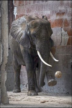 African Elephant playing football