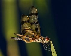 Honorable Mention. When birding subjects subside, I turn my attention to the wide assortment of Dragonflies, like this Halloween Pennant. By Donald Mullaney