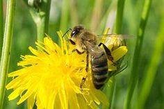 Bee, Collect Honey, Honey Bee, Yellow