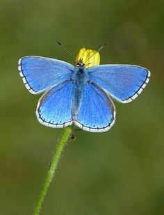 ADONIS BLUE (Male) - Polyommatus bellargus Butterfly Art And Craft, Butterfly Fairy, Butterfly Photos, Butterfly Kisses, Beautiful Bugs, Beautiful Butterflies, Flying Flowers, Little Critter, Bugs And Insects