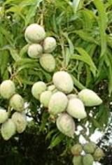 Nigerian food online Ogbonor fruits #shikenanafrica #africanfood #africanshop #nigerianfood http://www.africanshop.shikenan.com/african-food/african-soup-ingredients/whole-ogbono-2oz