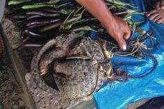 We are passionate conservationists from Tamenglong, Manipur. We would like to report the rampant trapping, hunting and sale of wildlife in Tamenglong and its neighbouring villages. We have seen monkeys, pythons, Chinese pangolins (Manis pentadactyla… Chinese Pangolin, Conservation, Marketing, Conservation Movement, Canning