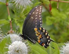 Black Swallowtail Images