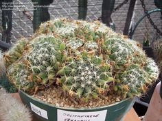 Mammillaria sphaerica. Northeastern Mexico native. Ball/clumping shape.