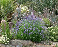 Lavandula angustifolia wee one photo plant select