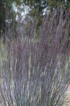 Proven Winners - Prairie Winds® 'Blue Paradise' - Little Bluestem - Schizachyrium scoparium tan plant details, information and resources.