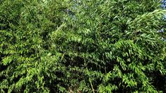 The thoughts of Microdac: When I read that the Jamaican government was encouraging bamboo farming, I was intrigued. Farming, Bamboo, Herbs, Earth, Thoughts, Videos, Plants, Herb, Plant