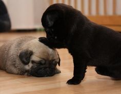 "are you asleep? Cute Black & Fawn Pug Puppies - these puppies would never be consider a hound - but the word ""hound"" is ultimately derived from the Porto-In do-European word *know- ""dog""."