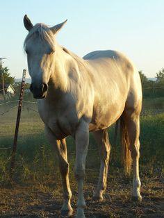 Quarter horse •.•.♡.•.•