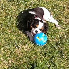 Luna the cutest cavalier king charles spaniel puppy. #cavalier #cavalierlife #cavalierkingcharles #cavaliersofinstagram #cavlife #instadog #instapuppy #puppy #playingpuppy #mymaxizoo #rodipetfood