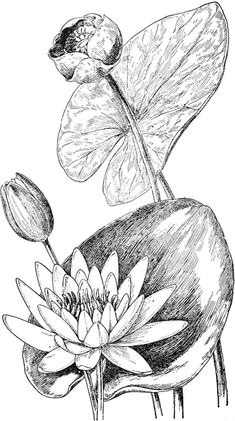 Water Lily and Yellow Pond Lily Flower Line Drawings, Flower Sketches, Pencil Art Drawings, Drawing Sketches, Pond Drawing, Lilies Drawing, Floral Drawing, Lotus Drawing, Botanical Drawings