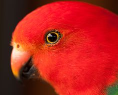 Feature Photo of Iconada Network of Content Professionals, King Parrot by Malcolm Graham, http://malgphotography.com.au/