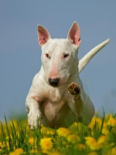 English Bull Terrier Dog Breed Photography Puppy Hounds Chien Puppies Pup