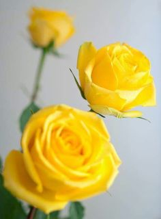 History and meaning of yellow roses by samantha green primary yellow roses my favorite rose mightylinksfo