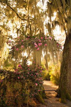 Camellias, Magnolia Gardens, Charleston, SC © Doug Hickok
