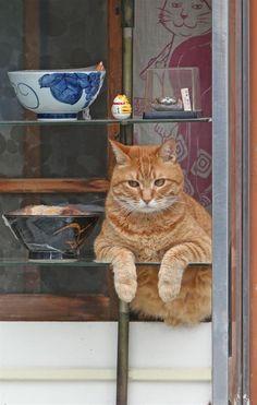 そば屋「やぶ」の休憩時間に、ショーケースの中から「人間観察」を楽しむ?看板猫のピンク=荒川区町屋(尾崎修二撮影)