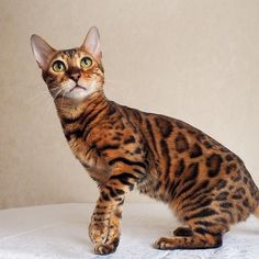 My face when I look at a #photo of myself made by dad... and there's no tail  simbathebengal.com